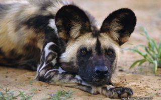 Painted-dog