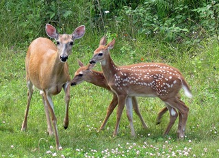 doe-fawns