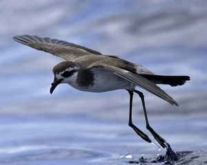 White-faced_Storm_Petrel_Audubon