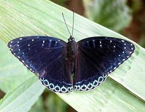 popinjay butterfly