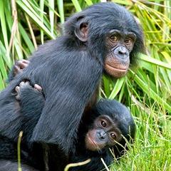 bonobo_kids