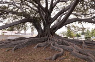 Moreton fig tree LOC