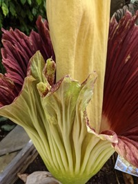 corpse flower 2