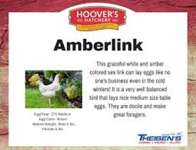 Amberlink chicken